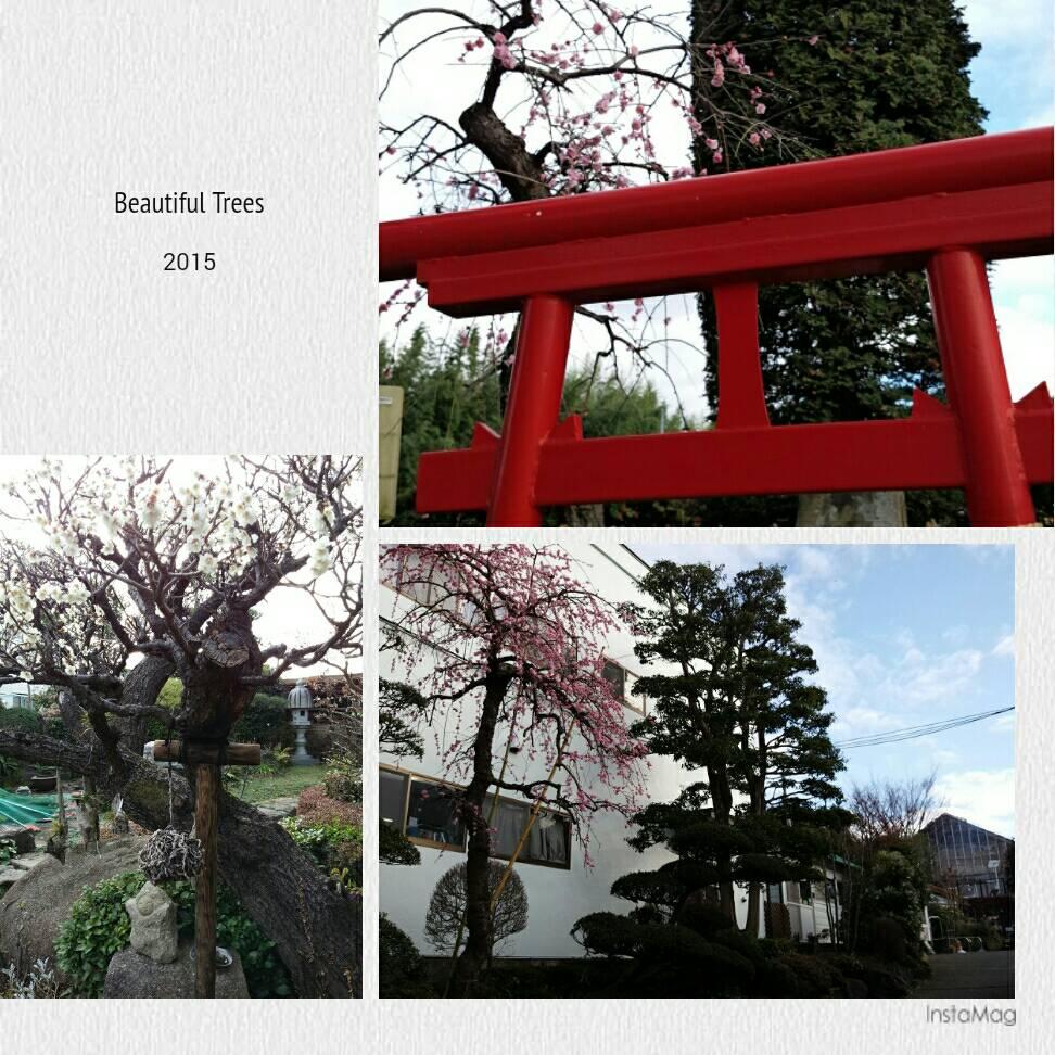 満開の紅白の梅の花3本