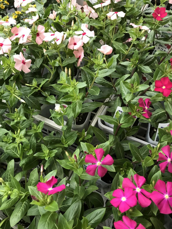 手入れ 日々草 【50音順一覧】花の育て方・お手入れ方法(ガーデニング・園芸の初心者にも)