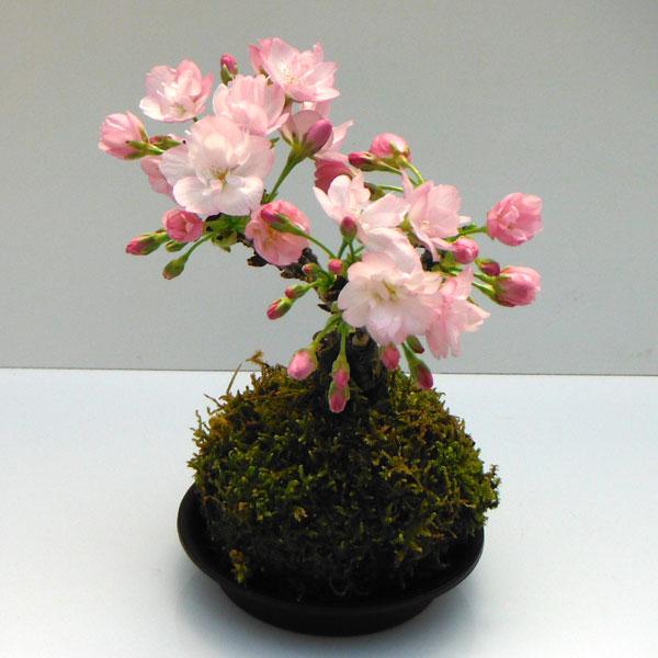 コケ玉 桜