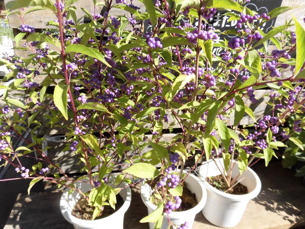 庭木の剪定 紫式部